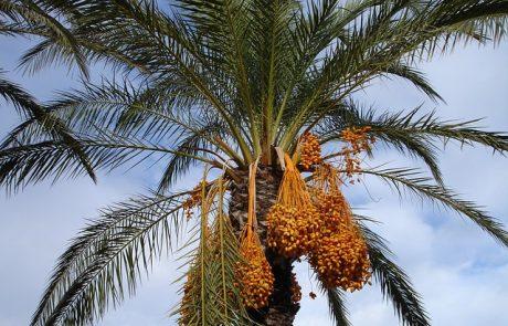 2,000 כפות תמרים יחולקו חינם לתושבי כפר סבא לקראת החג